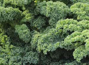 hortaliza kale